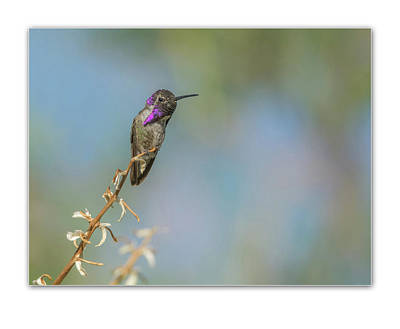 Photograph - Costa's Hummingbird 1828 by Tam Ryan