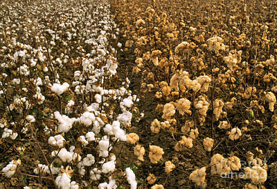 Cotton Boll Photograph - Cotton Field by Inga Spence