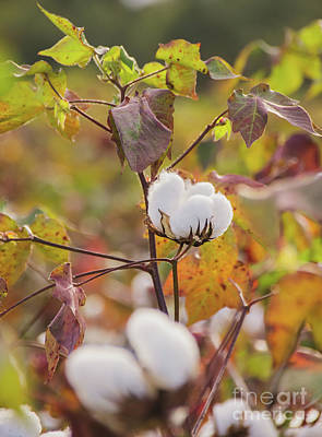 Photograph - Cotton Flower 3 by Andrea Anderegg