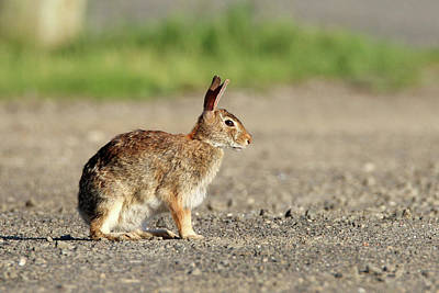 Photograph - Cottontail Rabbit Stony Brook New York by Bob Savage