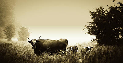 Photograph - Cow And Calves In Foggy Meadow by Unsplash