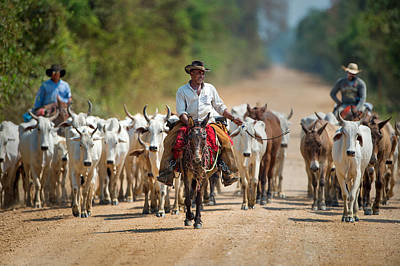 Cattle Drive Photograph - Cowboy Herding Cattle, Pantanal by Panoramic Images