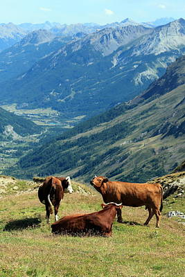 Photograph - Cows At The Galibier Pass, France by Elenarts - Elena Duvernay photo