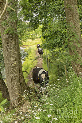 David Bowie Royalty Free Images - Cows walking on a riverside path Royalty-Free Image by Patricia Hofmeester