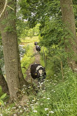 Pasta Al Dente - Cows walking on a riverside path by Patricia Hofmeester