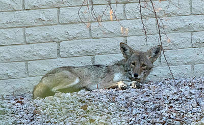 Photograph - Coyote by Anne Rodkin