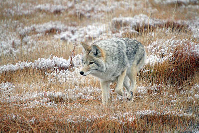 Coyote  In Yellowstone National Park Art Print by Pierre Leclerc Photography