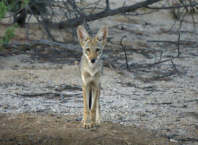 Photograph - Coyote Pup by Charlie Alolkoy