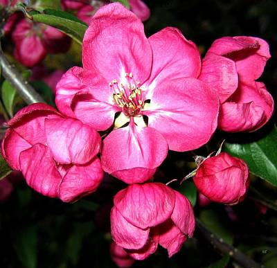 Photograph - Crab Apple Blossoms by Will Borden