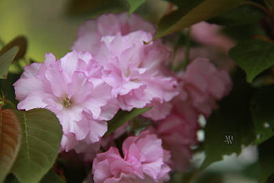 Photograph - Delicate Flowers Of Crabapple Tree by Yvonne Wright