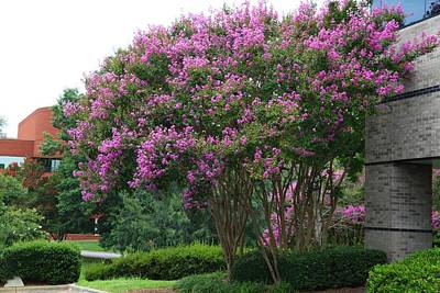 Photograph - Crape Myrtles by Kathryn Meyer