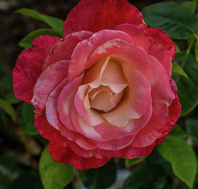 Photograph - Crescendo Rose by Jane Luxton