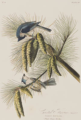 Titmouse Painting - Crested Titmouse by John James Audubon