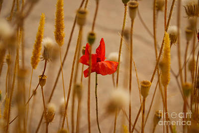 Photograph - Cretan Flower  by David Warrington