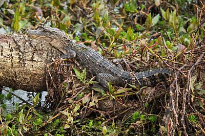 Photograph - Crocodile  by Joye Ardyn Durham