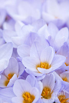 Crocus Flowers Art Print by Elena Elisseeva