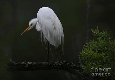 Photograph - Crouching Egret by Dale Powell