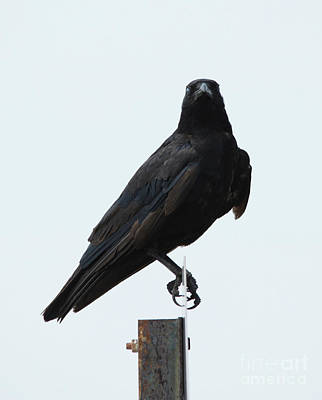 Photograph - Crow by Charles Owens