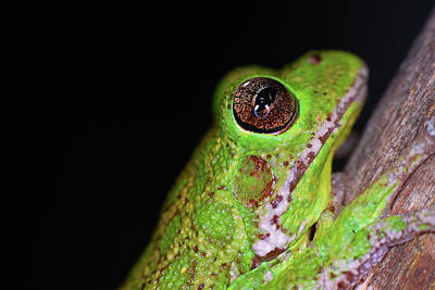 Photograph - Cuban Tree Frog by Larah McElroy