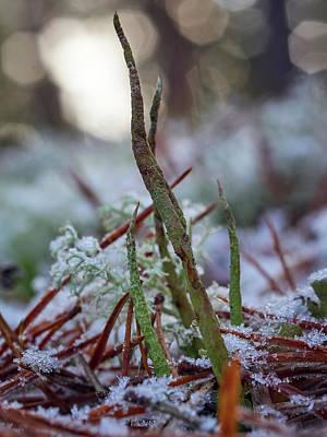 Photograph - Cup Lichen by Jouko Lehto