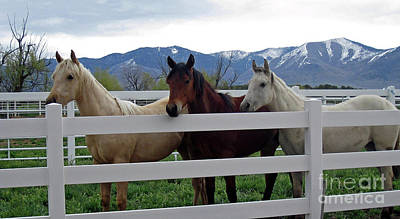 Art Print featuring the photograph Curious Yearlings by Juls Adams