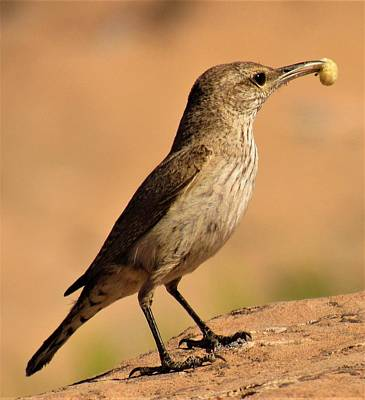Photograph - Curve Billed Thrasher by Joshua Bales