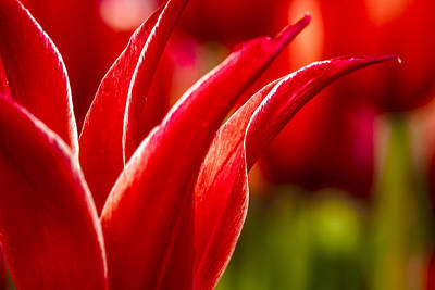 Photograph - Curves Of A Tulip by Teri Virbickis