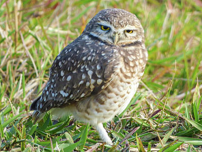Photograph - Cute Burrowing Owl by Helissa Grundemann