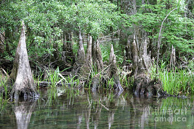 Cypress Knees Photograph - Cypress Knees  by Carol Groenen