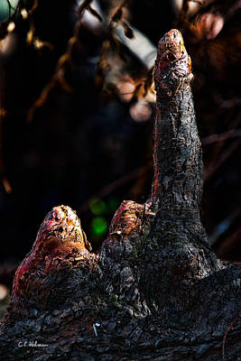 Photograph - Cypress Knees by Christopher Holmes