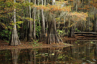 Cypress Trees In Caddo Lake Art Print by Iris Greenwell