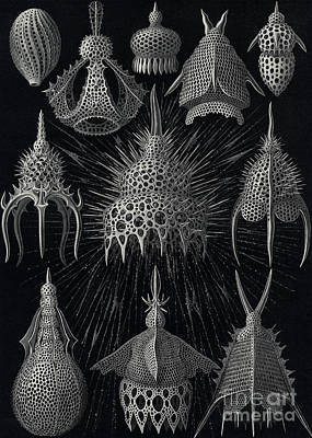 Variety Drawing - Cyrtoidea by Ernst Haeckel