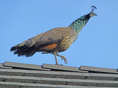 Photograph - D3b6396 Pea Hen On Our Roof by Ed Cooper Photography