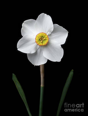 Photograph - Daffodil 'cantabile' by Ann Jacobson