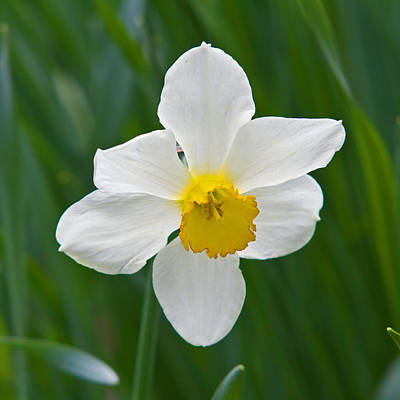 Photograph - Daffodil by David Freuthal