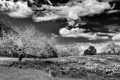 Cherry Tree Photograph - Daffodil Hill by Jessica Jenney