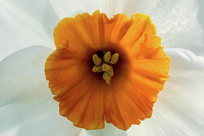 Photograph - Daffodil by Jay Stockhaus
