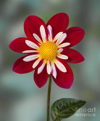 Photograph - Dahlia 'apopa Cindy' by Ann Jacobson