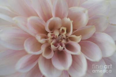 Photograph - Dahlia by Clayton Bastiani