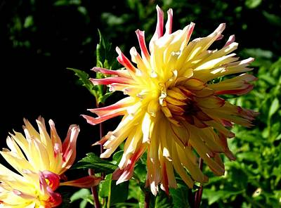 Photograph - Dahlia Dazzle by Will Borden