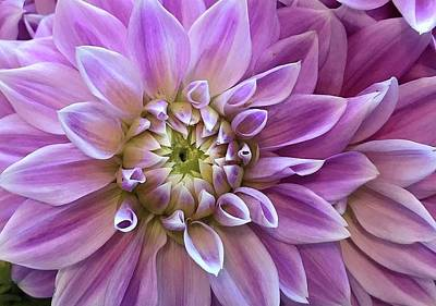 Photograph - Dahlia Delight by Bruce Bley
