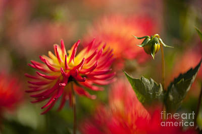 Red Leaves Photograph - Dahlia Firestorm by Mike Reid