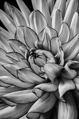 Chrysanthemums Photograph - Dahlia In Black And White Close Up by Garry Gay
