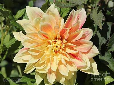 Photograph - Dahlia Named Advance by J McCombie