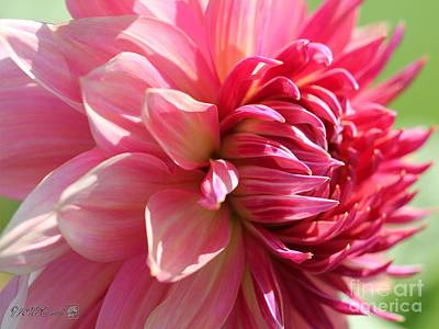 Photograph - Dahlia Named Penhill Dark Monarch by J McCombie