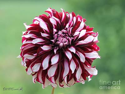 Photograph - Dahlia Named Tartan by J McCombie