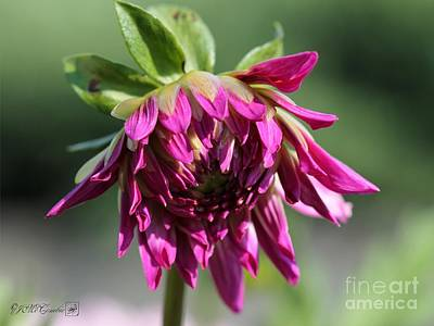 Photograph - Dahlia Named Veca Lucia by J McCombie