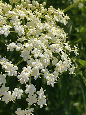 Photograph - Dainty Wild Flower by Arlene Carmel