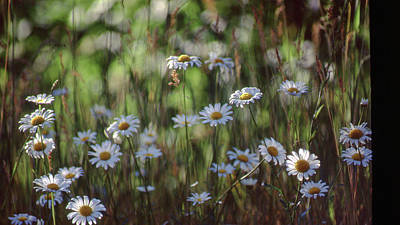 Photograph - Daisies by Jim Vance