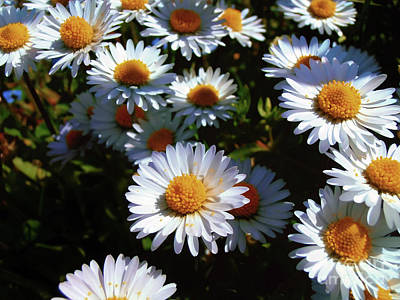 Photograph - Daisies by Nina Ficur Feenan